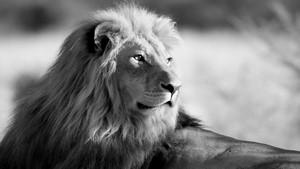 lion animal brown 1366x768 - photo #41