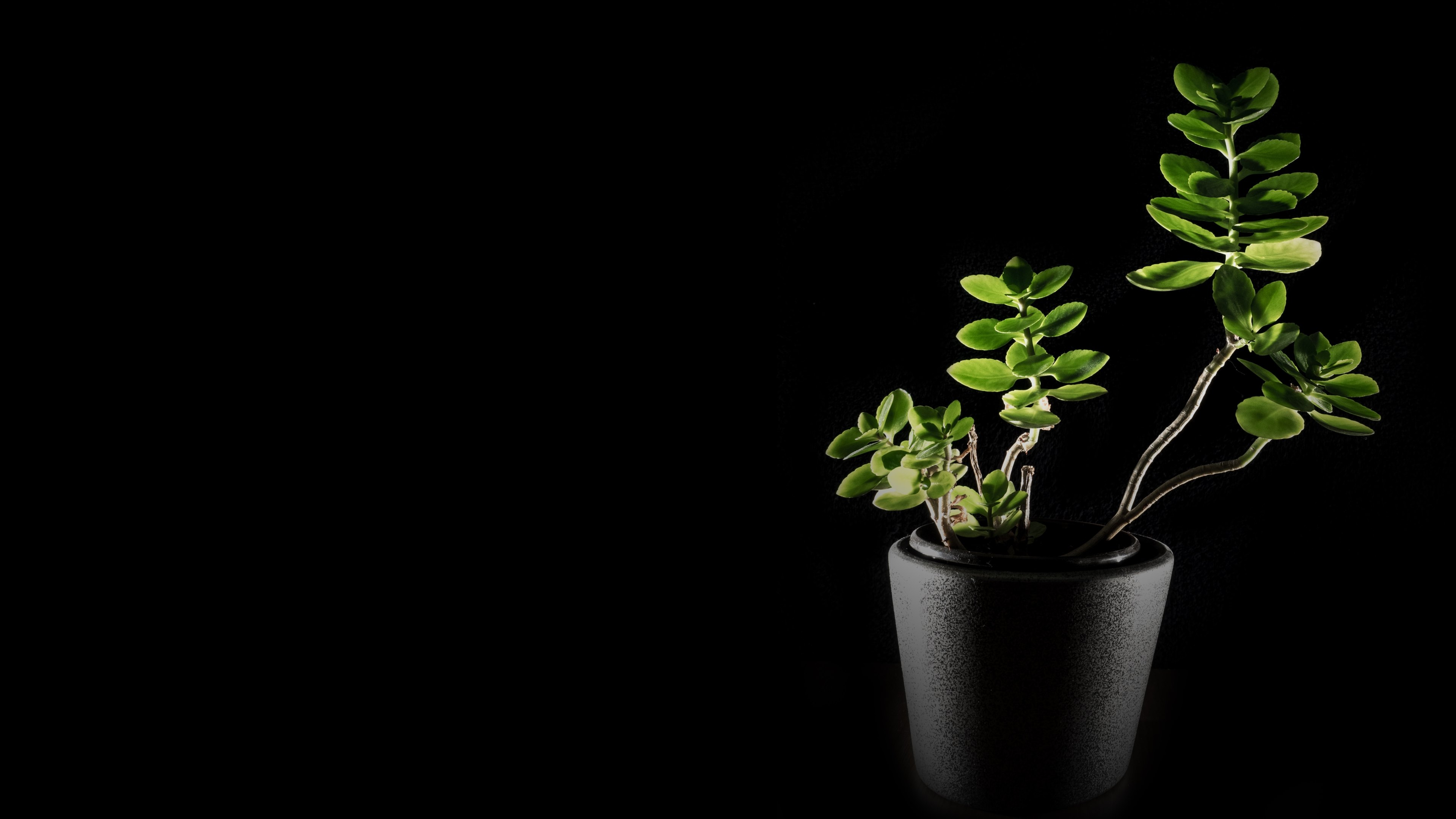 Black Plant Windows 10 Wallpaper Wallpapers Uhd 3840x2160 Wallpapers