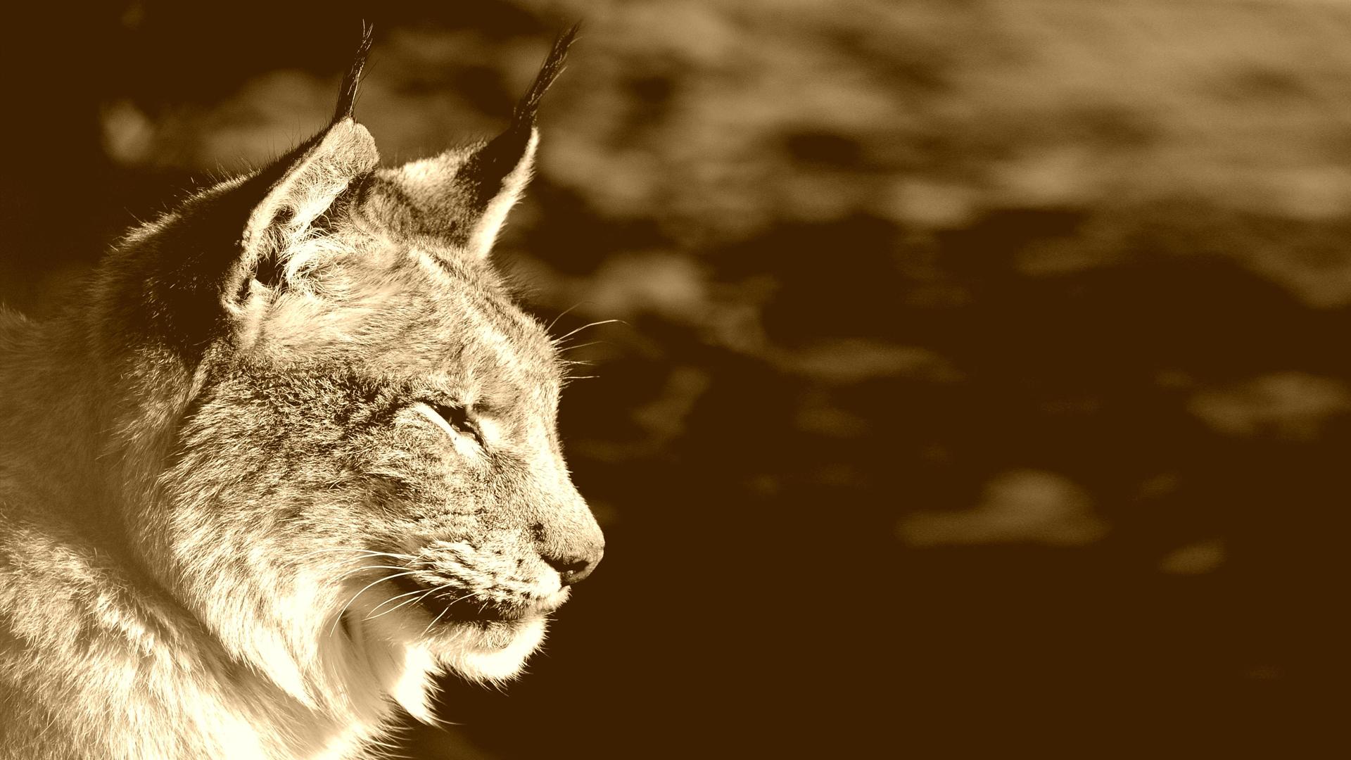 Sepia Lynx Windows 10 Wallpaper - Animals HD 1920x1080